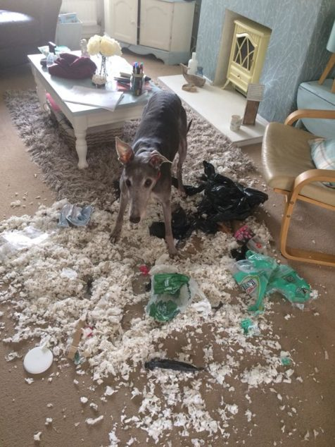 Greyhound destroyed pillow and trash.