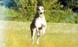 Jaxx Whippet Dog running on a field.