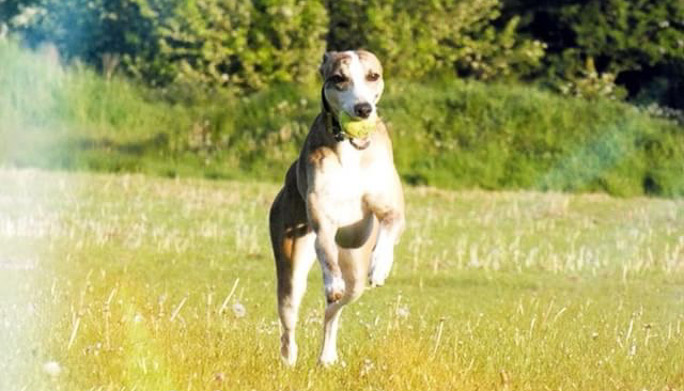 Jaxx whippet dog running on a field with a ball.