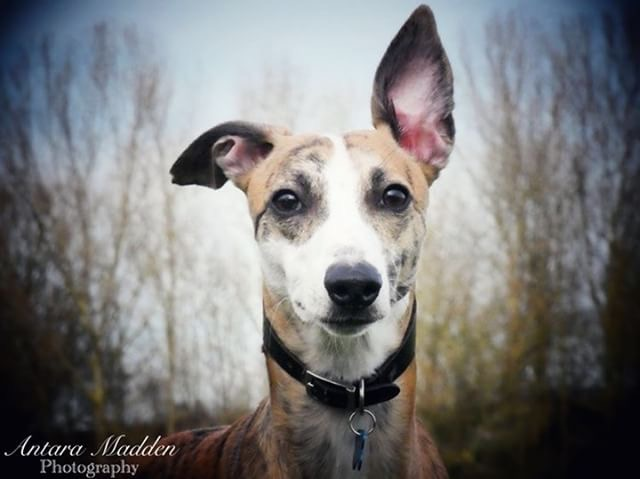 Jaxx whippet dog with one ear up.