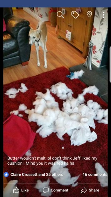 Whippet dog destroyed red cushion