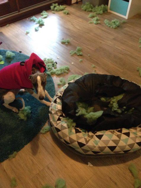 Whippet dog destroyed dog bed.