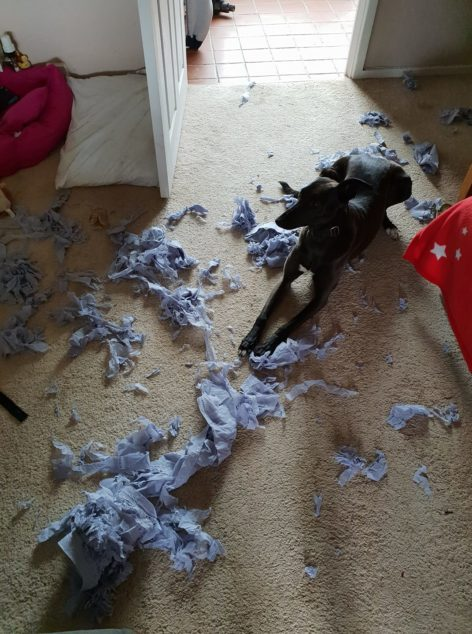 Whippet dog with paper stuffing.