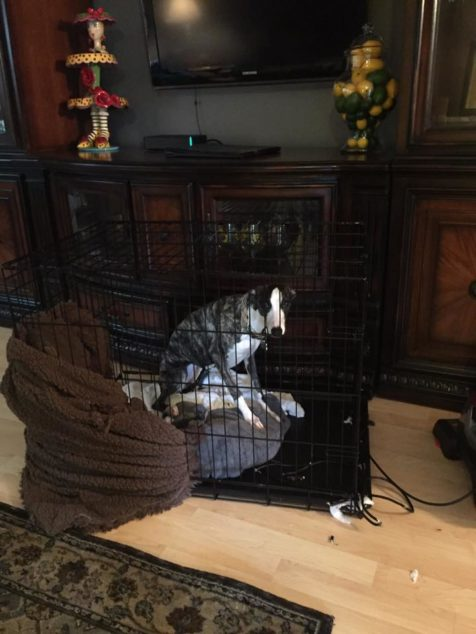 Whippet dog in crate destroyed blanket and cord.