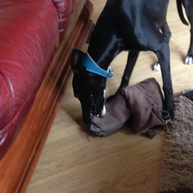 Whippet dog destroying a boot.