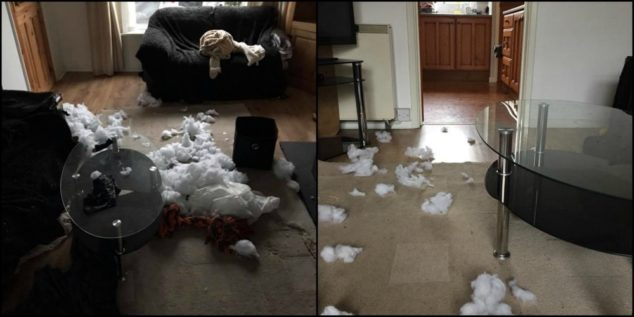 Whippet dog destroyed house and furniture.