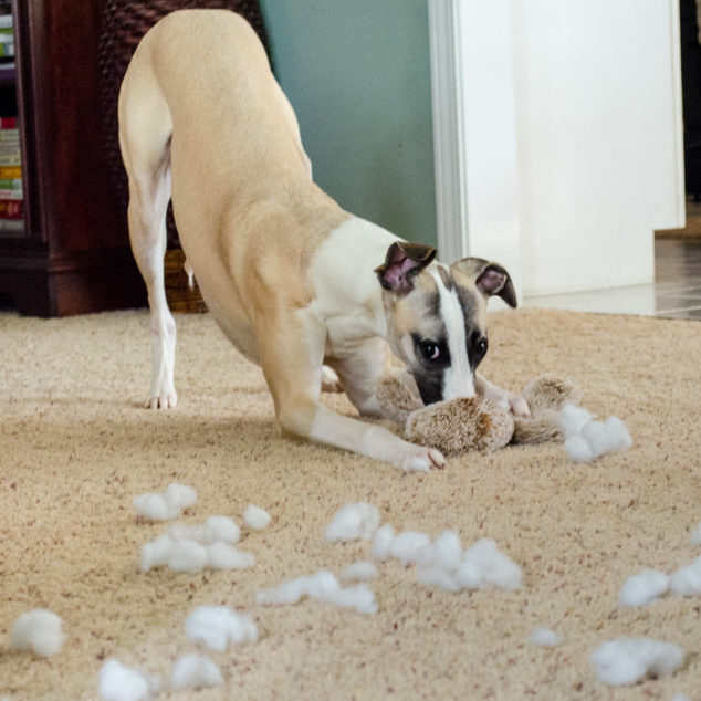 Whippet dog destroying plush toy.