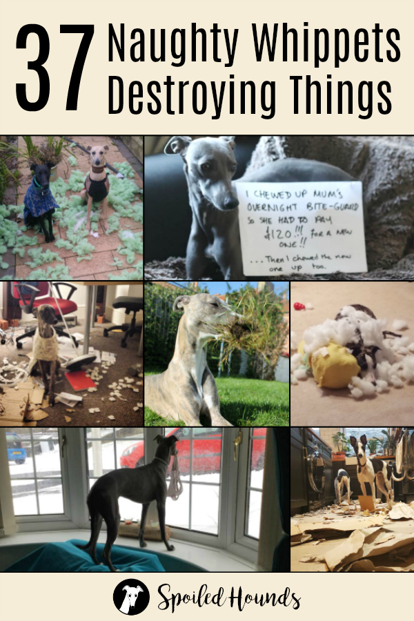 Collage of whippets destroying things