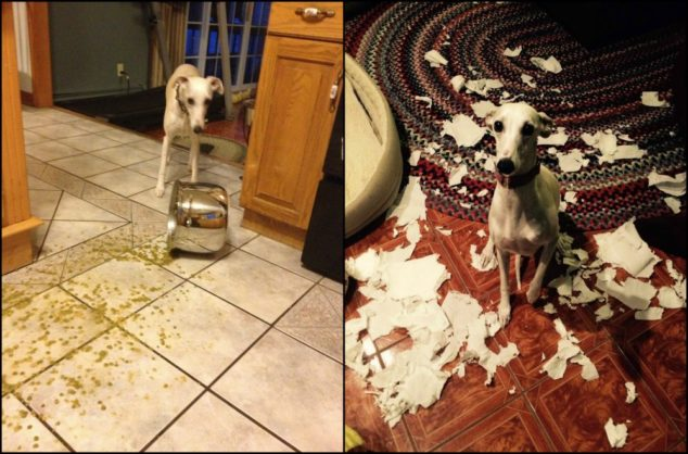 Whippet dog destroyed both pot of soup and paper towels.