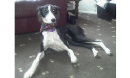 Suki, a mix saluki and border collie dog.