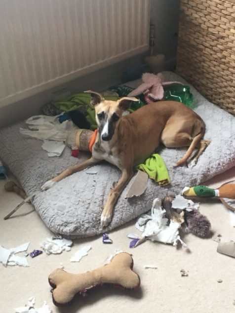Whippet dog destroys multiple items in the house.