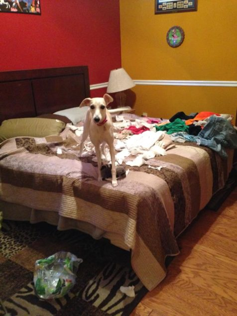 Whippet dog destroyed toilet paper on top of bed.