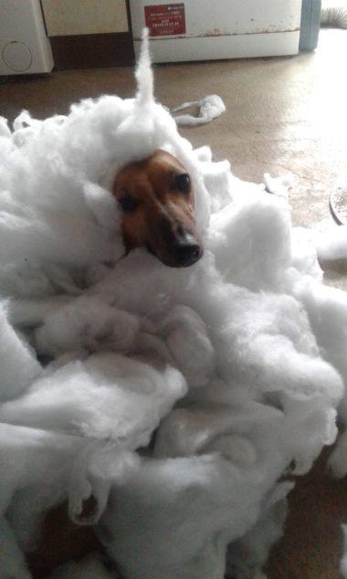 Whippet dog destroyed a duvet.