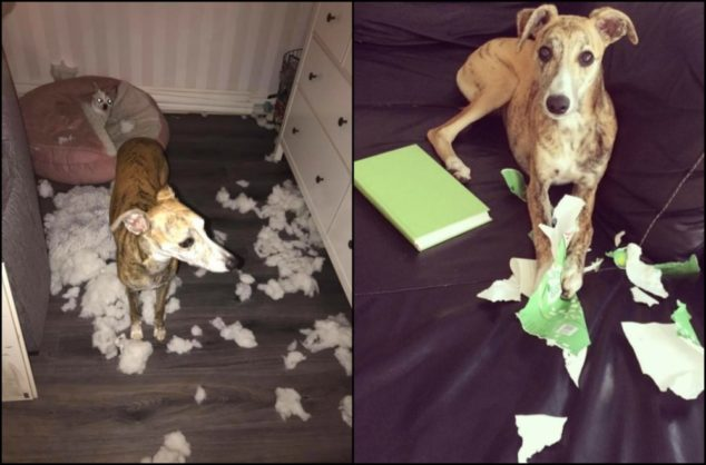 Whippet dog destroyed cushion and book cover.