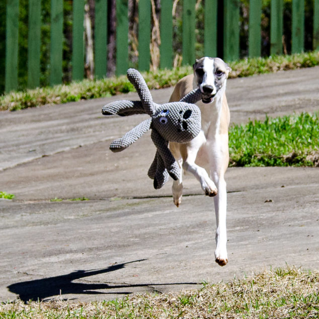 Whippet dog running with octopus toy.