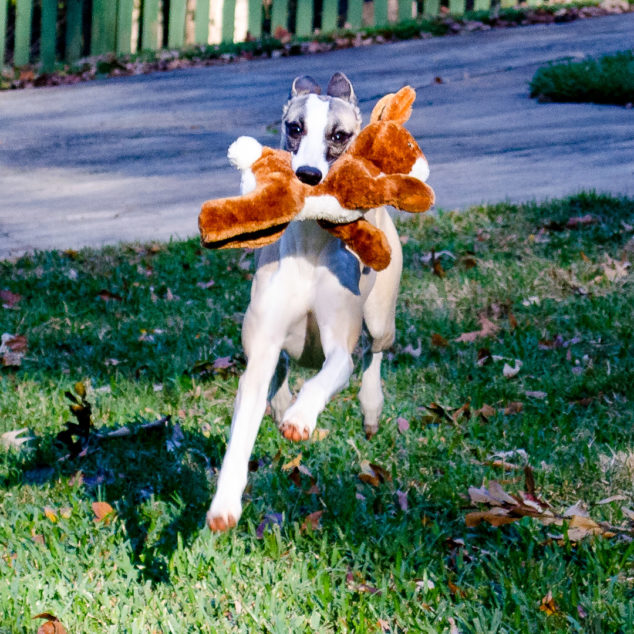Whippet dog running with rabbit toy