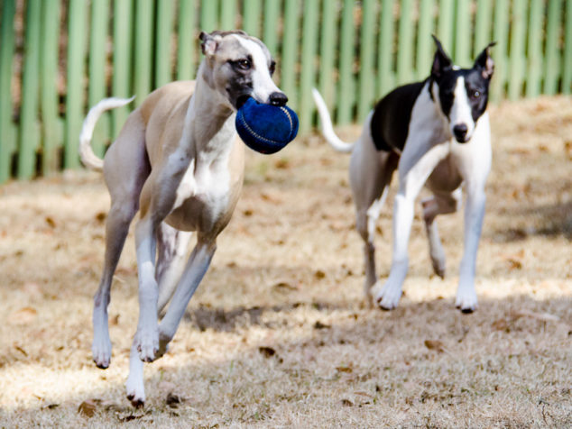 Whippet dogs playing with a blue ball