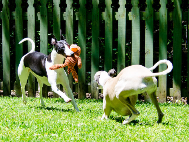 Two whippet dogs playing with a chicken toy