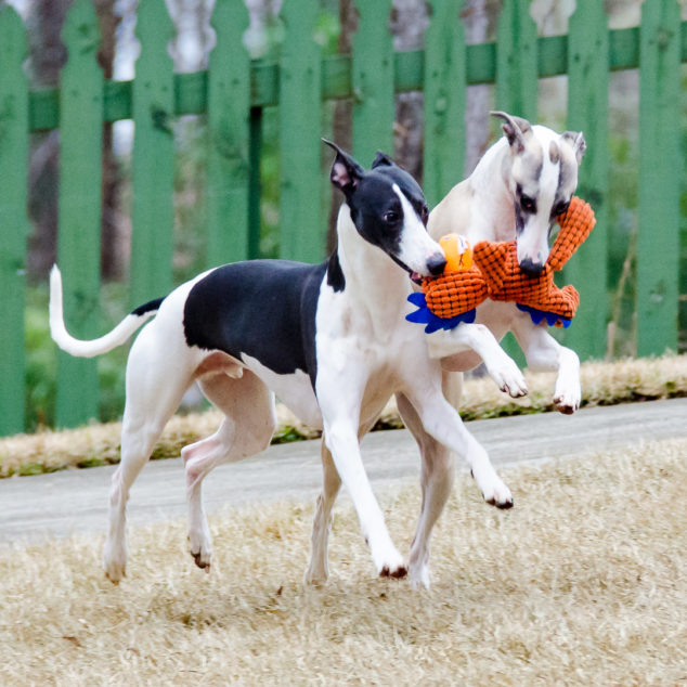 Whippet dogs running with a chicken toy