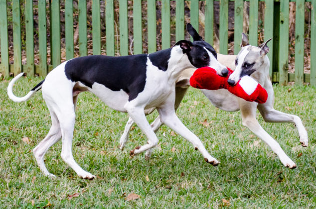 Two whippet dogs running with stuffed dog bone toy