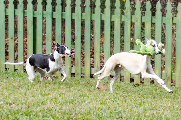 Whippet dogs running with green monkey toy