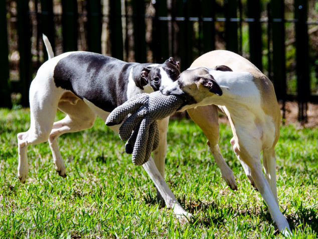 Two whippet dogs running with octopus toy