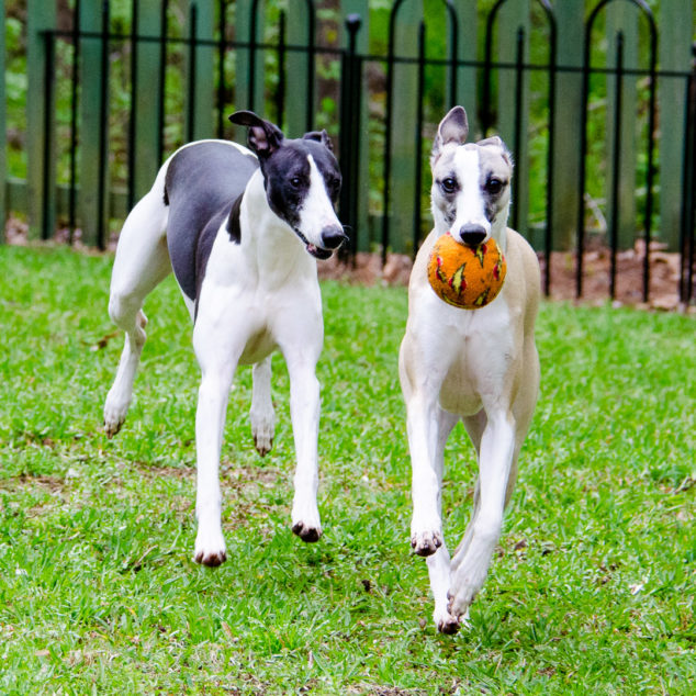Whippet dogs playing with an orange ball.