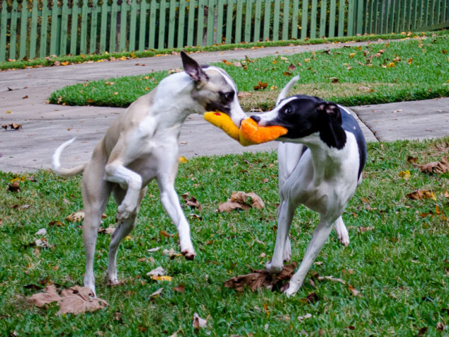 Two whippet dogs playing with pizza slice toy
