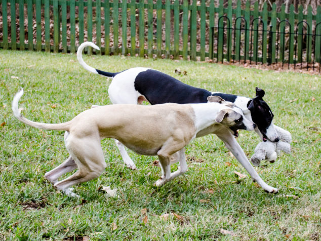 Two whippet dogs playing with stuffed bear toy