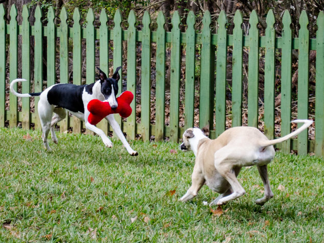 Two whippet dogs playing with stuffed bone toy.
