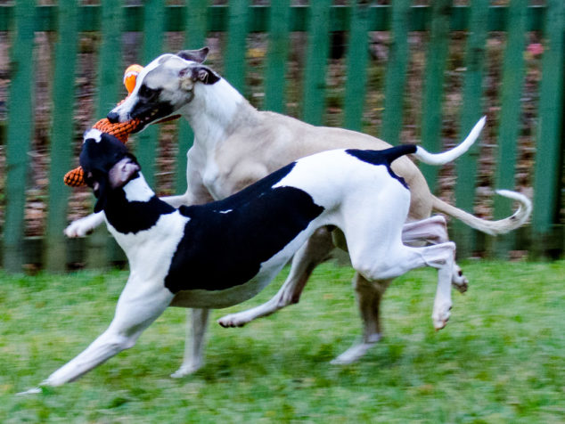 Two whippet dogs running with stuffed chicken toy