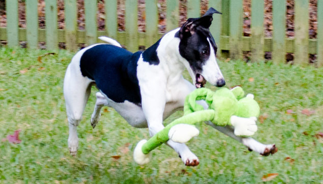 Black and white whippet dog playing with monkey toy.