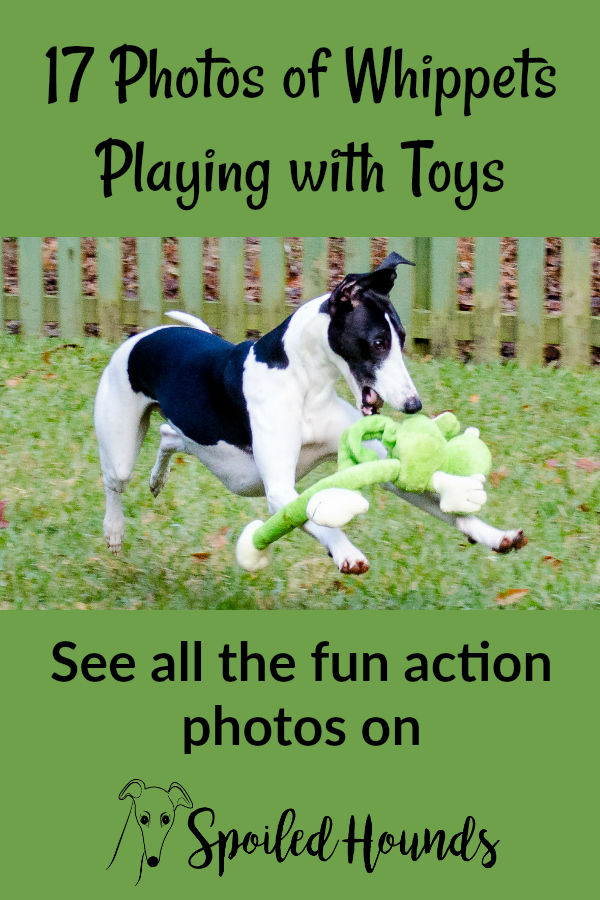 17 fun action photos of whippet dogs playing with toys. #dogs #whippet
