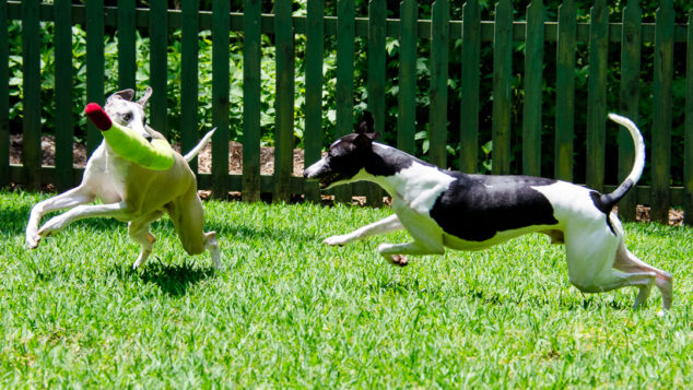 Two whippet dogs playing with white wine bottle toy.
