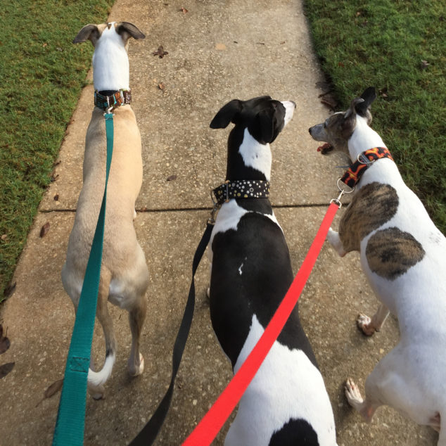 3 whippet dogs walking
