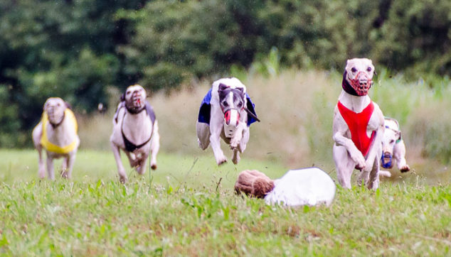 Whippet Racing Action Photo
