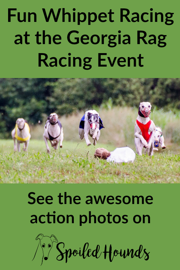 Whippets running in a rag racing event