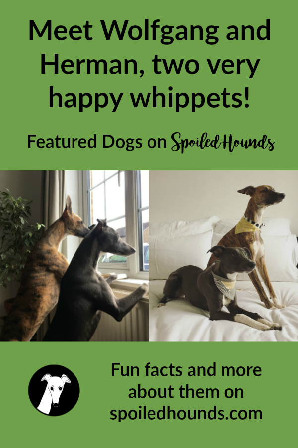 Collage of 2 photos of whippets named Wolfgand and Herman