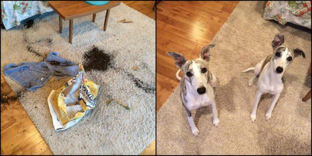 Whippet dogs destroy bag of garden soil inside house.