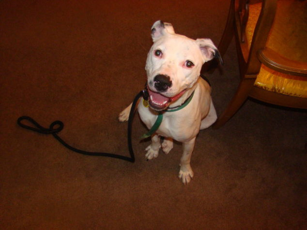 White pit bull mix dog sitting on the floor