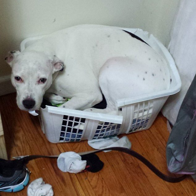 White put bull mix dog in a laundry basket.