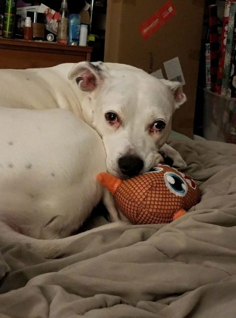 White pit bull mix dog with stuffed dog toy.