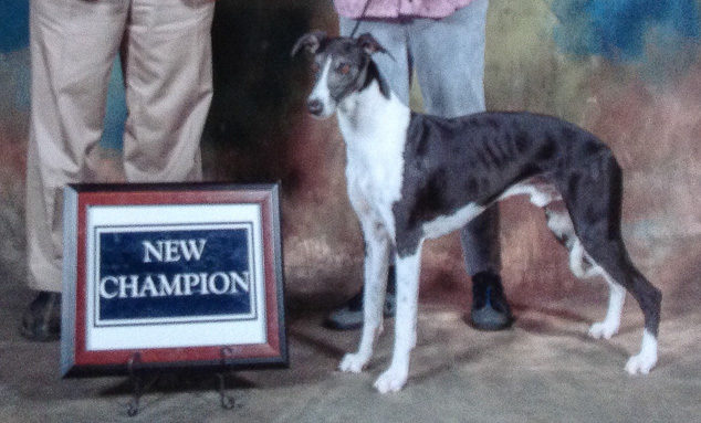 Digger, a champion whippet dog