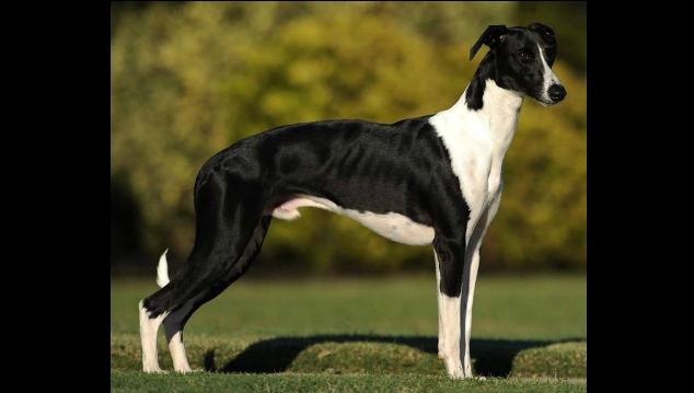Digger, a whippet dog