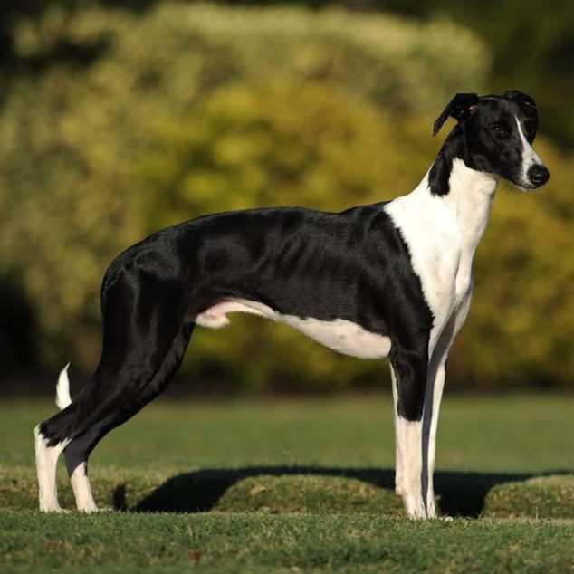 Digger, a black and white whippet dog.