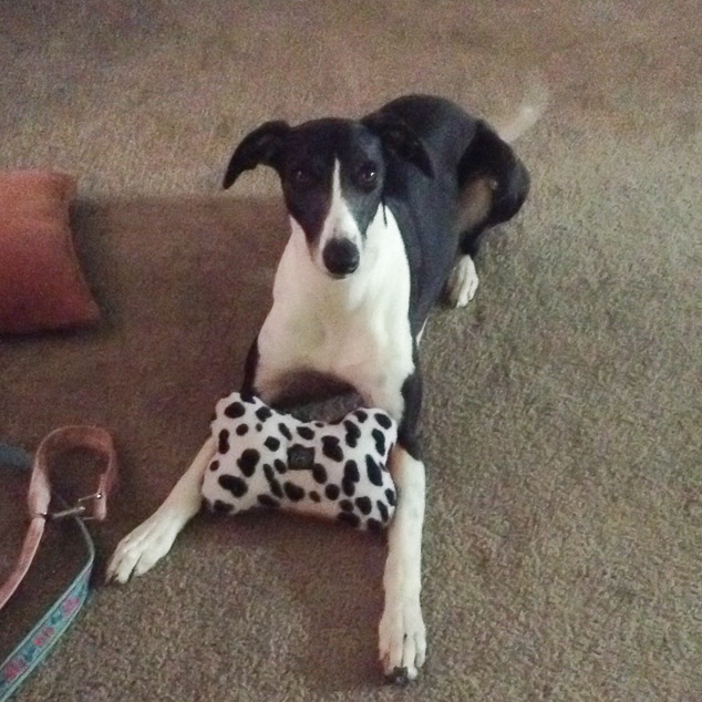 Digger, a black and white whippet dog with a toy.