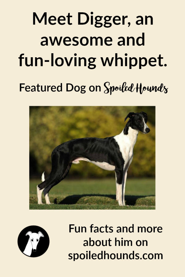 Meet Digger, an awesome and fun-loving whippet.