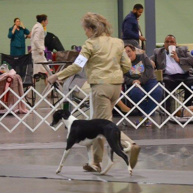 Digger, a whippet in the show ring.