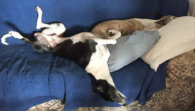 Two whippet dogs on a couch.