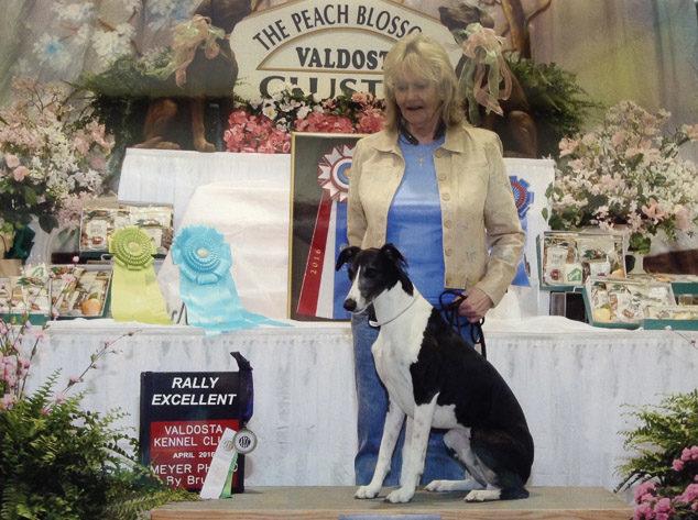 Digger, a rally winning whippet dog.